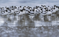 Avocets at Wallasea Island. Credit Andy Hay, rspb-images.com